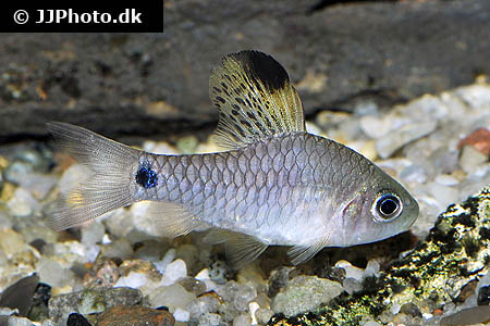Mikrogeophagus ramirezi electric blue 2