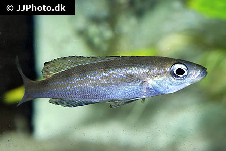 Scatophagus argus red 2