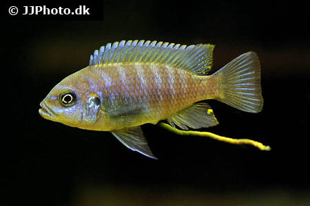 Acanthurus maculiceps 2