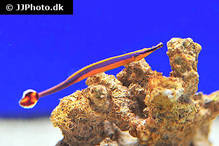 Anablepsoides rubrolineatus 1