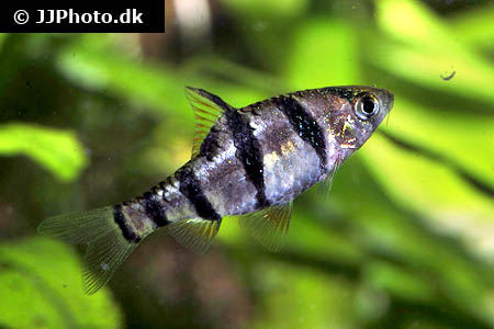 Corydoras species cw081 4