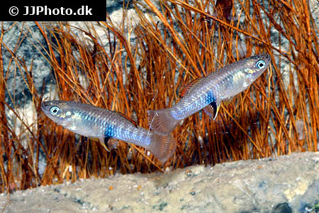 Corydoras species cw028 8