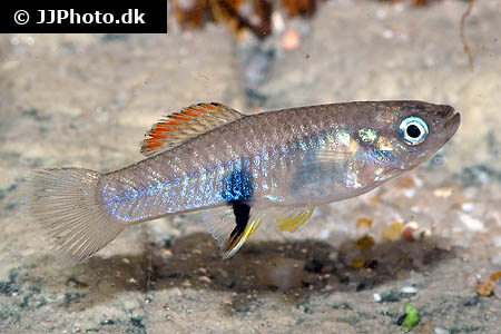 Corydoras species cw028 9
