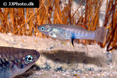 Corydoras species cw028 10