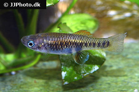 Corydoras species cw106 1