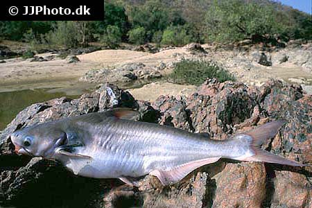 Corydoras species c049 1