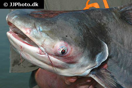 Corydoras species c156 1