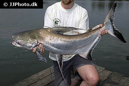 Corydoras species c156 2