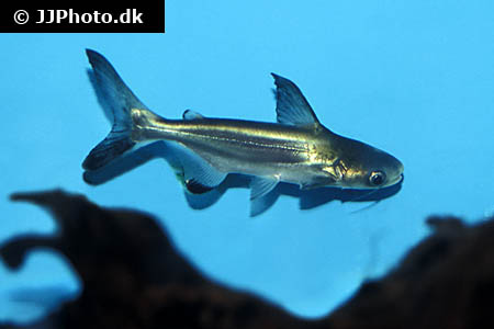 Corydoras species c156 4