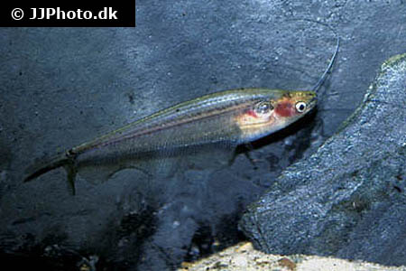 Corydoras species c082 1