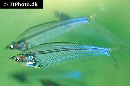 Corydoras species c083 2