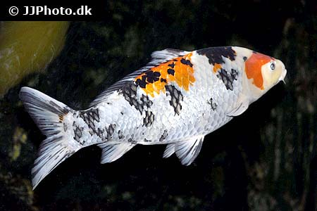 Corydoras species c083 3