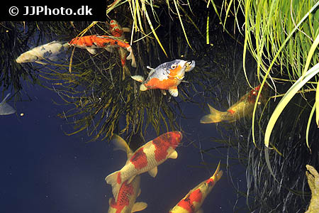 Corydoras species c083 4