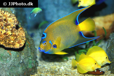 Apistogramma agassizii double red 1