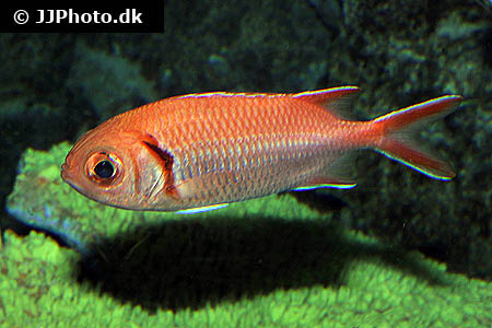 Aristochromis christyi 1