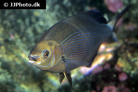 Corydoras species cw049 3