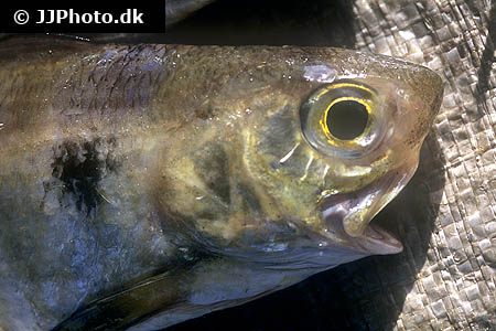 Corydoras species cw051 9