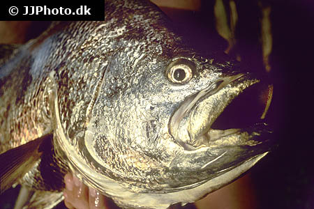 Corydoras species cw051 10