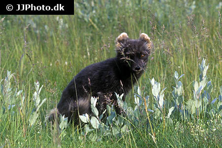 Corydoras species c091 8