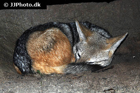 Corydoras species cw062 5