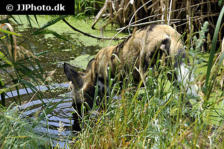 Corydoras species cw091 5