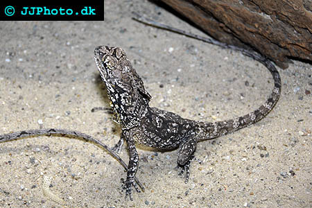 Corydoras species c018 2