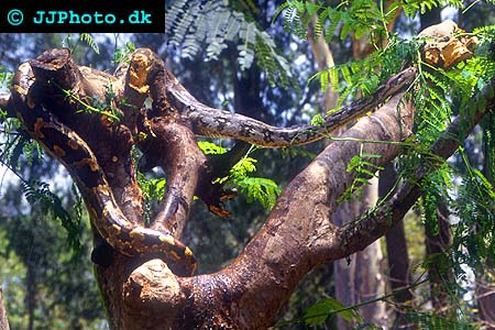 Corydoras species c141 4