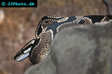 Corydoras species c141 5
