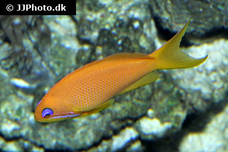 Betta mahachaiensis 2