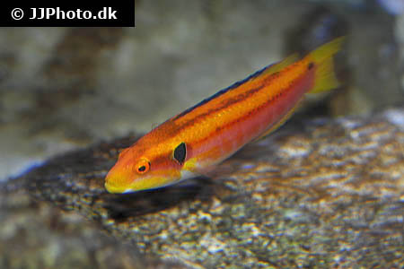 Corydoras species c021 1
