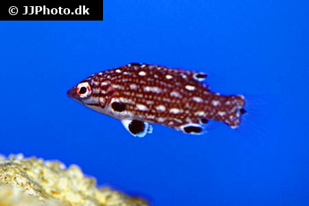 Corydoras species c030 10