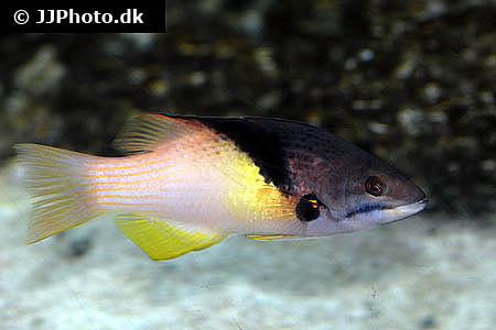 Corydoras species c030 12