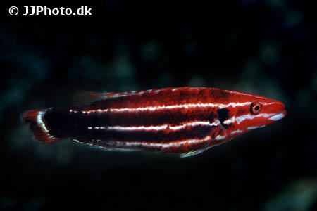 Corydoras species c039 1