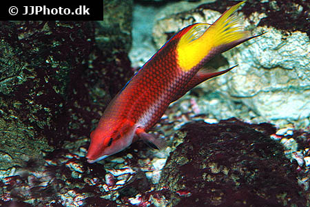 Corydoras species c041 1