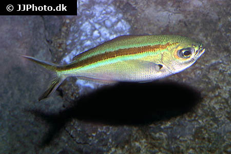 Corydoras species c048 4