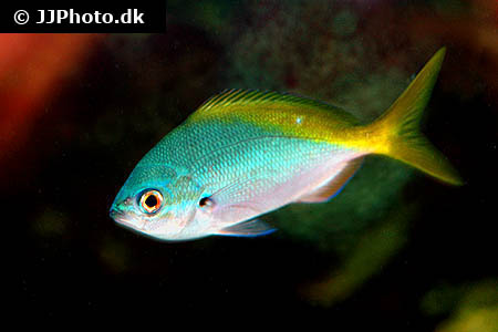 Corydoras species c057 4