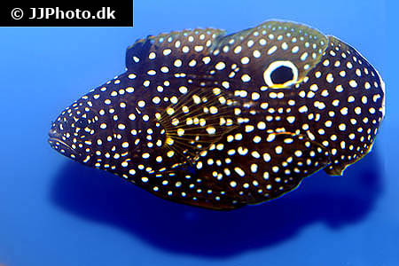 Corydoras species c091 6