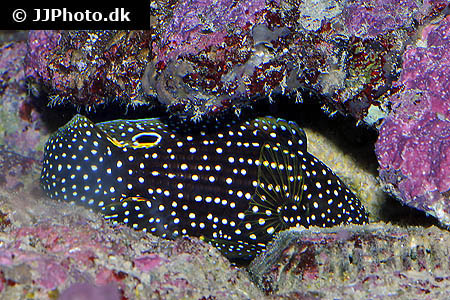 Corydoras species c091 7