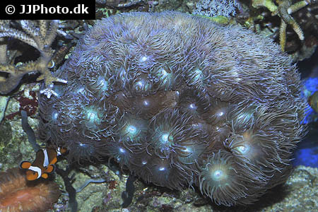 Symphysodon aequifasciatus red spotted green 3