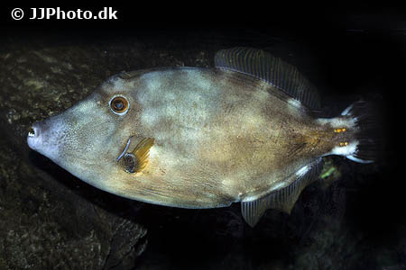 Corydoras species c096 5