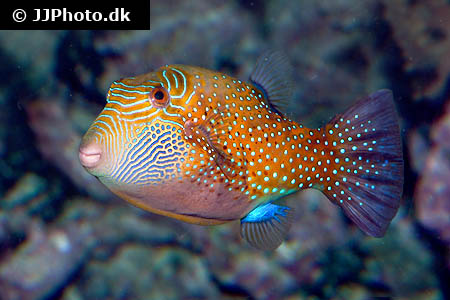 Corydoras species c097 2