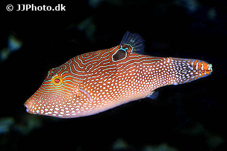 Corydoras species c102 5