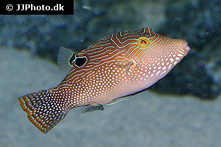 Corydoras species c109 2