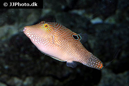 Corydoras species c110 1