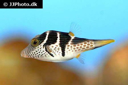 Corydoras species c115 4