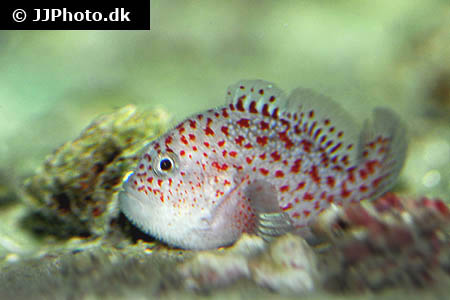 Corydoras species c121 1