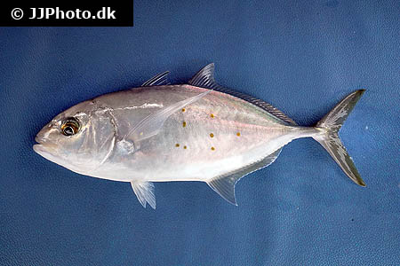Corydoras species c121 5