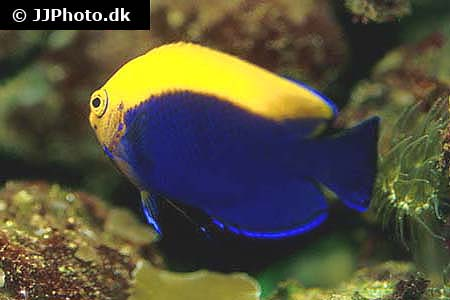 Corydoras species c126 2