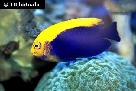 Corydoras species c127 1