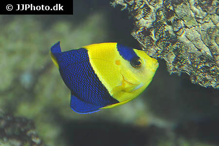 Corydoras species c127 4